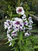 認識植物2.0 (70) 柊柏柚柳:柳葉天使花xx01.jpg