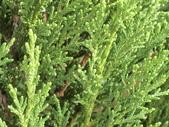 植物隨手拍 CJ:檀香柏cj6043.JPG