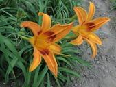 認識植物(70) 腰萬萱萼落葉葎葛葡葫葶蒂:萱草ag5901.JPG
