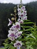 認識植物2.0 (70) 柊柏柚柳:柳葉天使花xx02.jpg