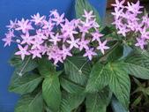 植物隨手拍 X:繁星花 x5926.JPG