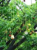 認識植物(60) 猢猩猴琴番畫短硬筆筑:猢猻樹xx06.jpg