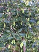 認識植物2.0 (21) 白:白木香xx01.jpg