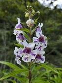 認識植物2.0 (70) 柊柏柚柳:柳葉天使花xx03.jpg