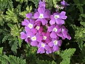 植物隨手拍 BP:美女櫻bp3520.JPG