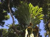 認識植物(5) 女子小:女王鹿角蕨xx02.jpg