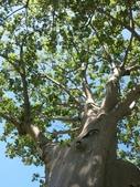 認識植物(60) 猢猩猴琴番畫短硬筆筑:猢猻樹xx08.jpg