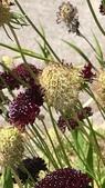 認識植物(66) 黑:黑色紫盆花xx02.jpg