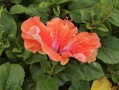 認識植物2.0 (28) 朱朴江池灰:朱槿 d8085.JPG