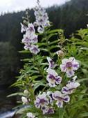 認識植物2.0 (70) 柊柏柚柳:柳葉天使花xx04.jpg
