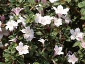 植物隨手拍 L:丁香木 L2362.JPG
