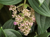 植物隨手拍 AD:珍珠寶蓮ad0609.JPG