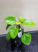 認識植物2.0 (26) 好如守安尖:如意蔓xx01.jpg