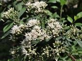 認識植物2.0 (63) 南:南非葉cb0756.JPG