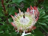 認識植物2.0 (67) 帝後恆扁:帝王花xx01.jpg