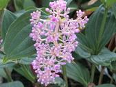 植物隨手拍 AD:珍珠寶蓮ad4360.JPG