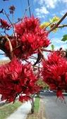 認識植物(60) 猢猩猴琴番畫短硬筆筑:猴花樹xx01.jpg