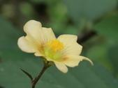 植物隨手拍 L:金午時花 L5376.JPG