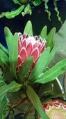 認識植物2.0 (67) 帝後恆扁:帝王花xx04.jpg