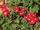 植物隨手拍 BP:美女櫻bp7129.JPG