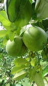 認識植物2.0 (67) 帝後恆扁:帝王柚xx02.jpg