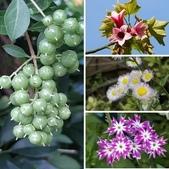 認識植物2.0 (68) 指星映春:相簿封面