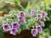 認識植物2.0 (59) 長:長筒花xx01.jpg
