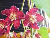 認識植物2.0 (67) 帝後恆扁:帝王毬蘭xx02.jpg