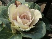 認識植物(70) 腰萬萱萼落葉葎葛葡葫葶蒂:葉牡丹bi1791.JPG