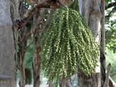 植物隨手拍 CJ:叢立孔雀椰子cj6750.JPG