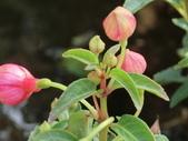 認識植物2.0 (25) 吊同向地多:吊鐘花 a0192.JPG