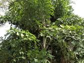 植物隨手拍 CJ:叢立孔雀椰子cj3146.JPG