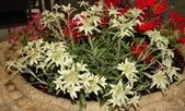 認識植物(50) 高鬼偃假:高山火絨草xx02.jpg