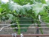 認識植物(70) 腰萬萱萼落葉葎葛葡葫葶蒂:葡萄cf3555.JPG