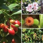 認識植物2.0 (69) 昭枯枳枸柃:相簿封面