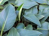 植物隨手拍 BP:綠鑽蔓綠絨bp1154.JPG