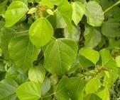 認識植物2.0 (27) 成扛早旭曲朵:扛香藤xx01.jpg