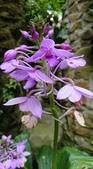 認識植物2.0 (59) 長:長距根節蘭xx01.jpg