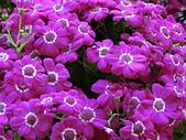 植物隨手拍 BD:瓜葉菊bd2593.JPG