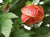 植物隨手拍 CJ:風鈴花cj6282.JPG