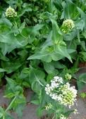 認識植物(5) 女子小:女孃花xx02.jpg