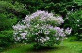 認識植物(61) 紫:紫丁香xx05.jpg
