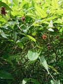 認識植物(59) 斯普智朝棉棍棗棣森温港湖無:斯氏懸鉤子xx02.jpg