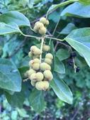 認識植物2.0 (27) 成扛早旭曲朵:扛香藤xx06.jpg