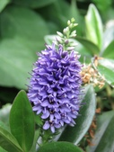 認識植物2.0 (59) 長:長階花xx03.jpg