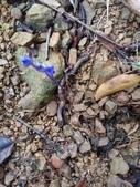 認識植物(61) 紫:紫水玉簪xx02.jpg