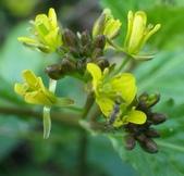 認識植物(70) 腰萬萱萼落葉葎葛葡葫葶蒂:葶藶xx02.jpg