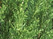 植物隨手拍 CJ:檀香柏cj6042.JPG