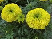 認識植物(70) 腰萬萱萼落葉葎葛葡葫葶蒂:萬壽菊 x6241.JPG