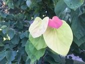 認識植物2.0 (27) 成扛早旭曲朵:旭日紫荊xx01.jpg